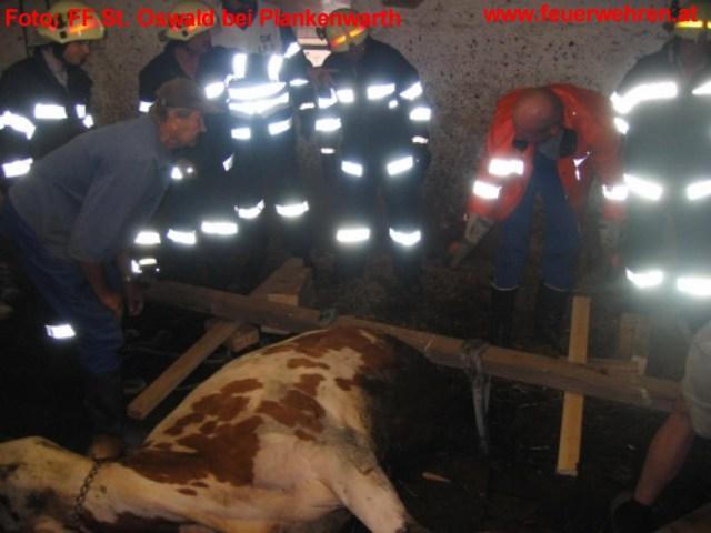 Kuh steckte mit Hinterteil im Schwemmkanal