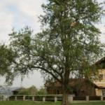 Flugdrachen im Baum