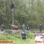 Entflohene Kühe im Ennstal sorgten für Chaos im Pfingstverkehr