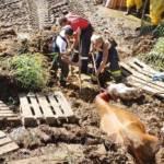 FF Steinberg-Rohrbach: Kuh in Misthaufen versunken 8