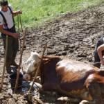 FF Steinberg-Rohrbach: Kuh in Misthaufen versunken 10