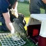 Feuerwehrbeamte befreien jungen Greifvogel