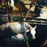 3 Jungstiere aus Jauchengrube gerettet