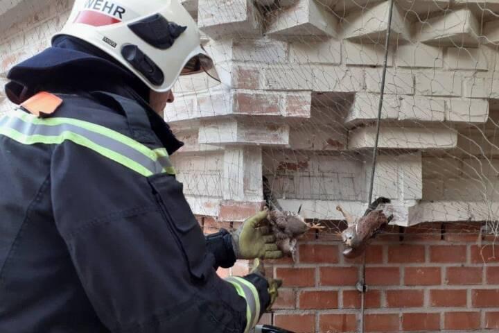 Rettungsaktion der beiden verhängten Turmfalken