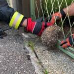 Igel steckt in Zaun - von Feuerwehr gerettet
