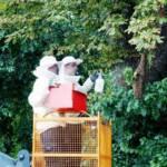 Imkereinsatz - Bienenschwarm eingesammelt